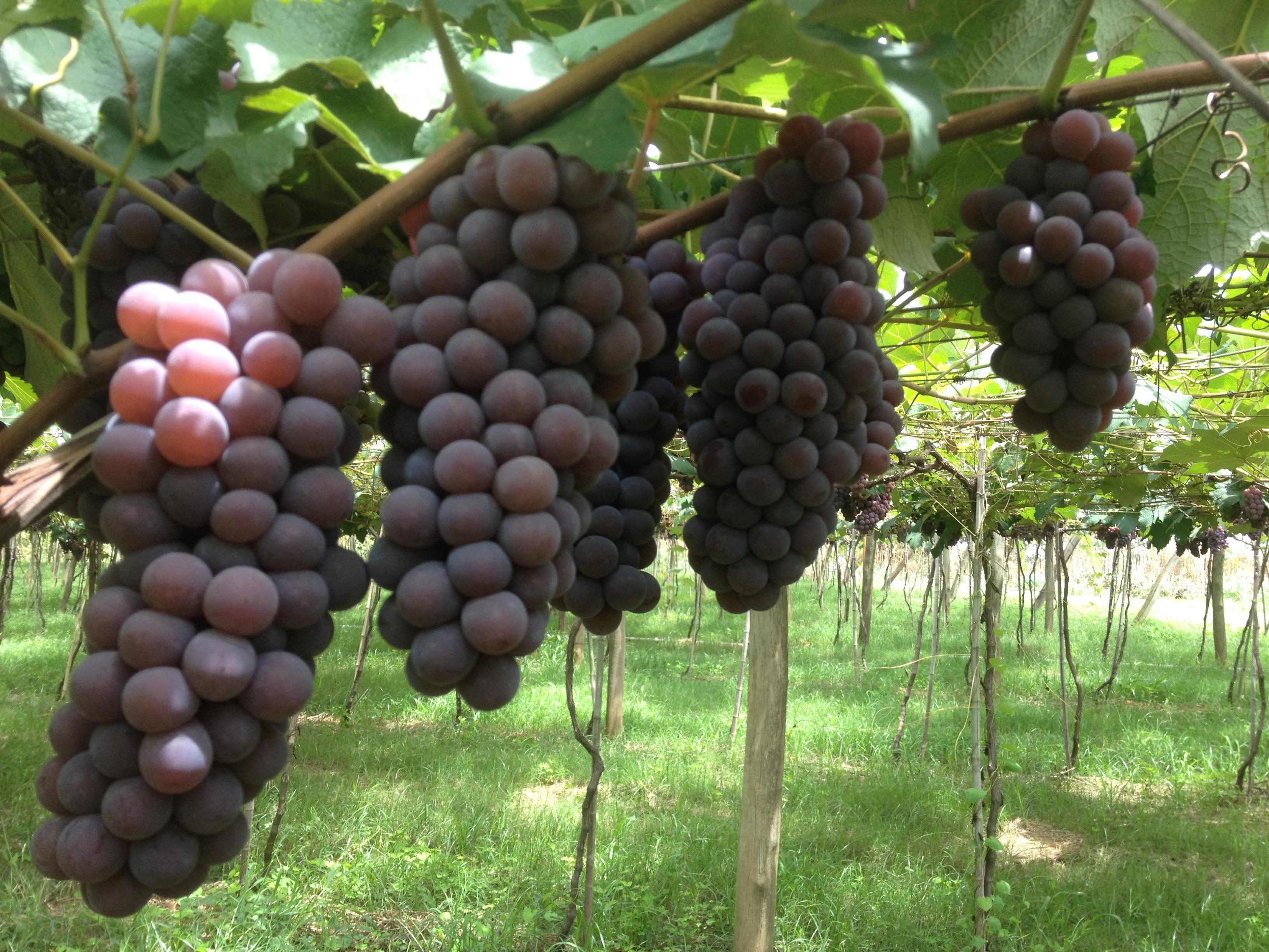 Terafértil frutíferas - Úva