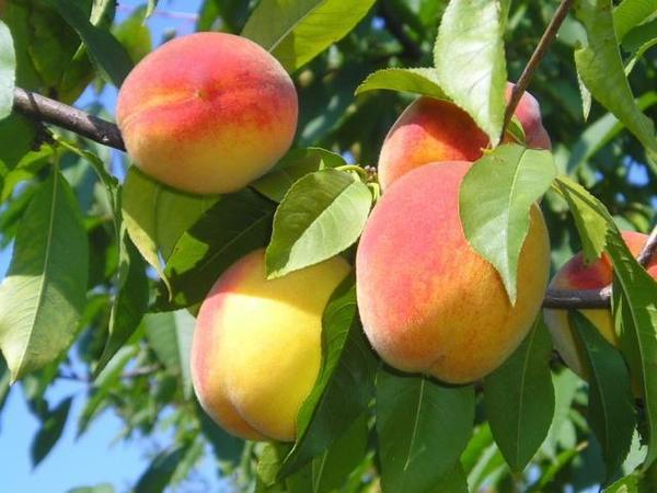 Pêssego - Terafértil Frutíferas
